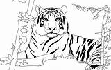 Tiger Coloring Pages Lion Siberian Drawing Printable Jungle Animal Pattern Rough Fur Awesome Advance Getdrawings Tigers Lions Adult Getcolorings Boys sketch template