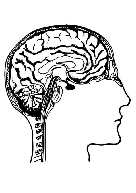 Hersenen Kleurplaat by Kleurplaat Hersenen Afb 27788