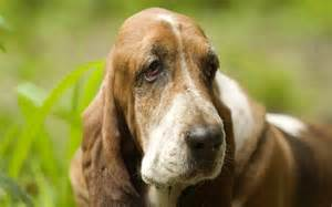 Droopy Face Dogs Puppy