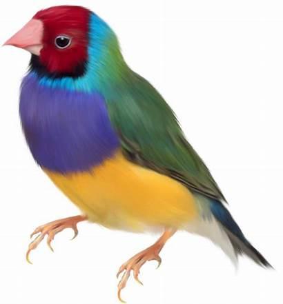 Oiseaux Gould Diamant Oiseau Aves Pajaros Renders