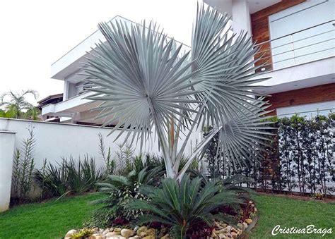 Palmeira azul – Bismarckia nobilis - Flores e Folhagens ...