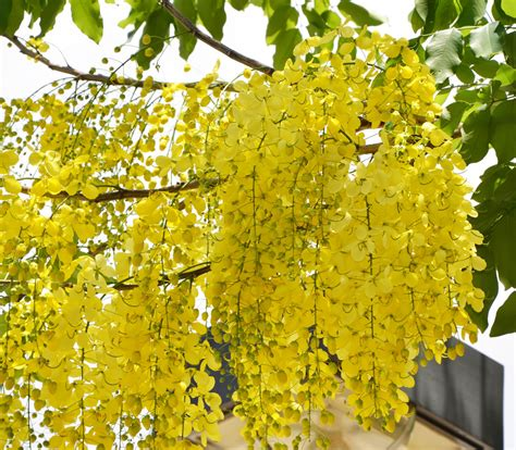 golden shower golden shower tree cassia fistula seeds