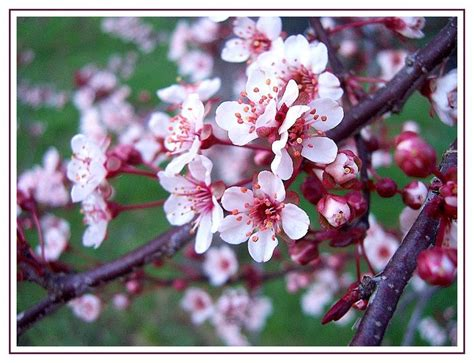 blooming plum tree flowering plum this tree blossoms with these sweet pink petals in march and then drops them to