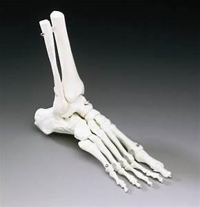 Elastic Foot Model