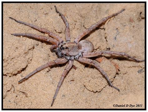 Florida Backyard Spiders by Carolina Wolf Spider Hogna Carolinensis Florida
