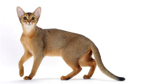 abyssinian history personality appearance health