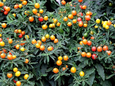 pommier d amour exterieur 28 images cultiv 233 plante