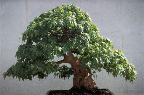 growem image gallery  year  trident maple bonsai