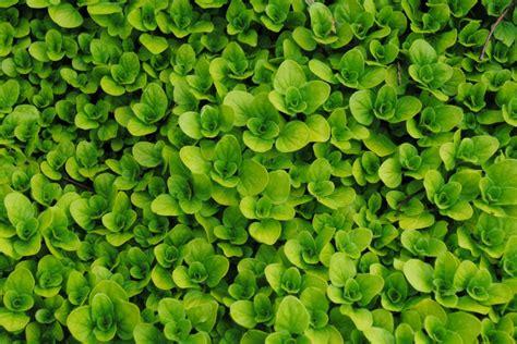 creeping oregano ground cover  herb drought
