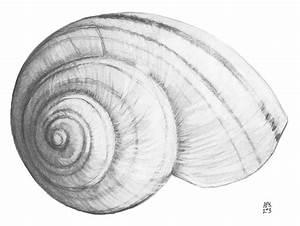 Snail shell by trelanea on DeviantArt