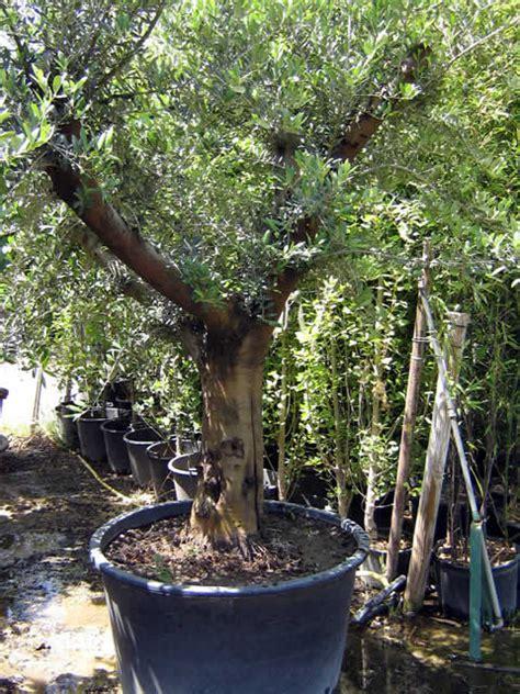 pot bonsai pas cher pot grande taille pas cher