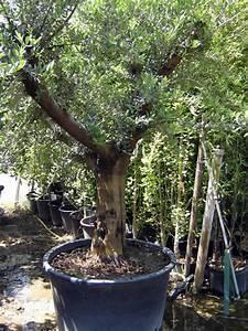 Gros Pot Pour Olivier : prix olivier pot ~ Melissatoandfro.com Idées de Décoration