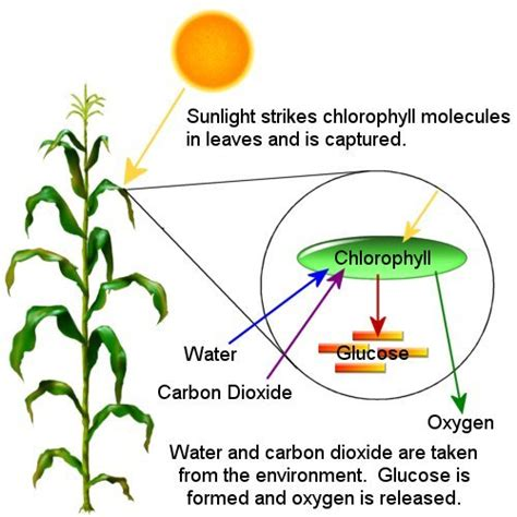 photosynthesis diagrams