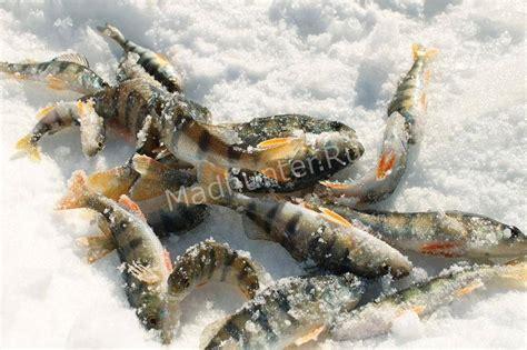 Ловля окуня зимой  секреты, описание, советы бывалых рыбаков