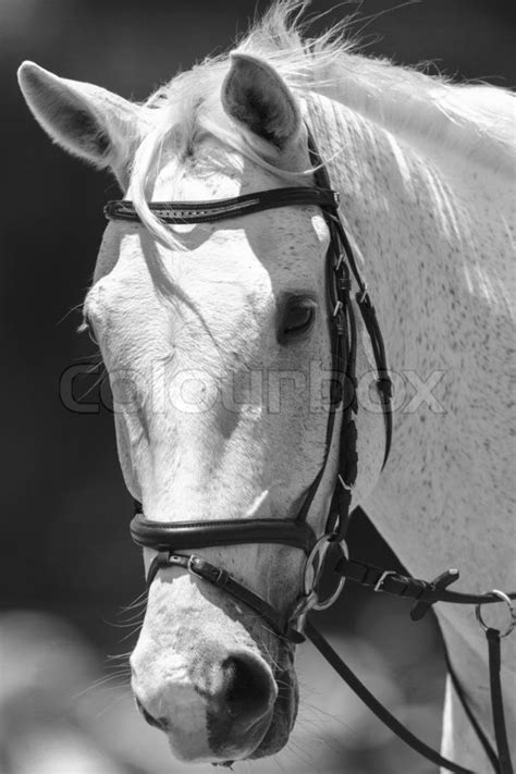 white horse head portrait  animal  stock photo