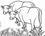 Cow Coloring Pages Cows Printable Drawing Cool2bkids Easy Colouring Adults Drawings Farm Getdrawings Scribblefun Paintingvalley sketch template