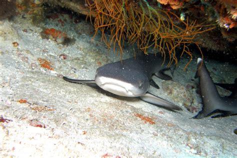 Requin Dormeur by Requin Nourrice Ginglymostoma Cirratum Aqua Plong 233 E