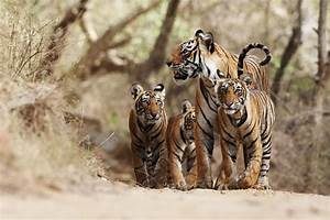 Photos from Help save tigers in the wild - GlobalGiving