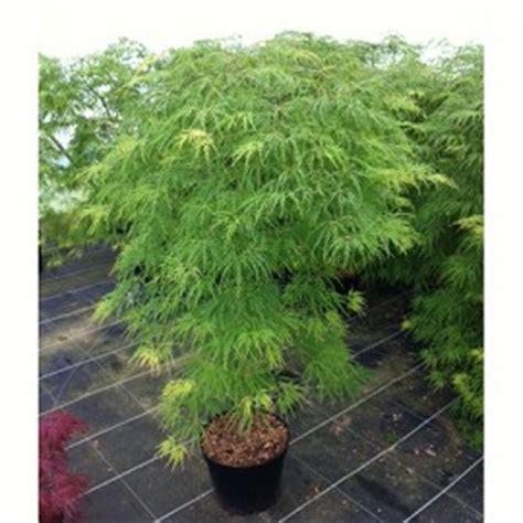 erable du japon viridis plantes et jardins