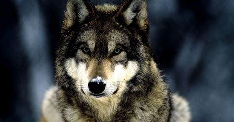 Beautiful Nature Animal Wallpapers - beautiful nature animals wolf amazing wallpapers
