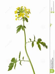 White Mustard Plant Stock Photo - Image: 41382290
