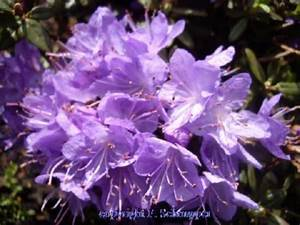 Rhododendron Blaue Mauritius : zwerg rhododendron viel farbe f r wenig platz ~ Lizthompson.info Haus und Dekorationen