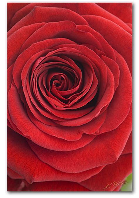 die rose rosa