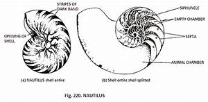 Structure Of Nautilus Shells  With Diagram