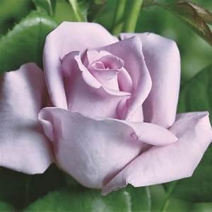 Mainzer Fastnacht Rose : rose mainzer fastnacht buy online rosen tantau ~ Orissabook.com Haus und Dekorationen