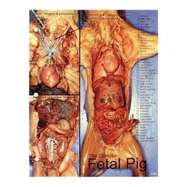 """Fetal Pig Dissection Chart, 8 12x 11"""", Full Color Cynmar"""