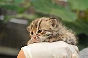 霏だよ⎝(ˊ ˋ*)⎠ [求幫擴]台灣雲豹已經沒有了,台灣僅存的原生貓科動物石虎也岌岌可危!生態平衡仰賴大量 ...