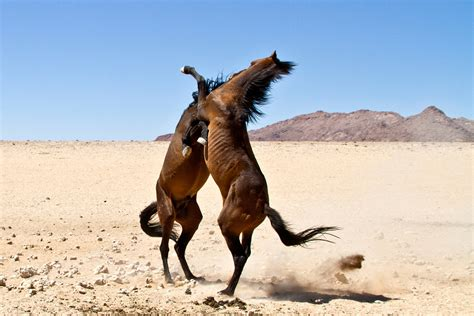 horses wild desert namib fighting africa namibia magazine mustangs hurd african mystery animals judy scott geographic