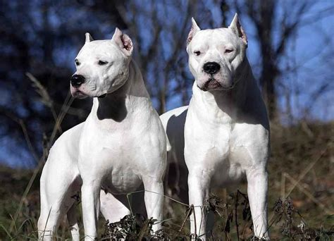 bully breeds dogs  viral fancy