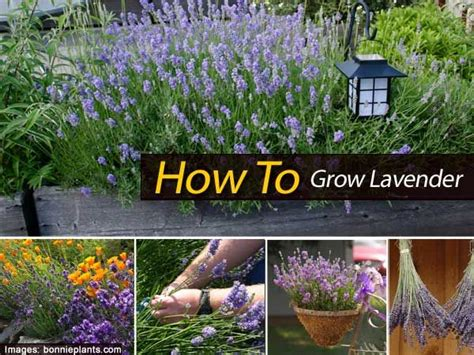 how to plant lavendar how to grow lavender gardening and flowers pinterest