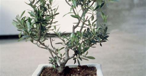 tailler olivier en pot comment tailler un olivier maison
