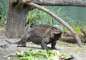 Florida Reptiles Iguana