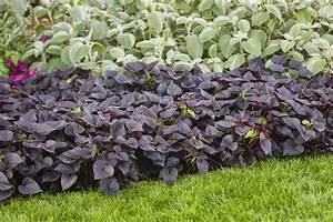 Purple Sweet Potato Vine - Gardening Guide