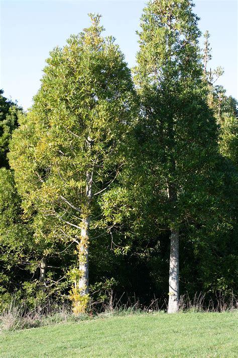 of tree agathis macrophylla wikipedia