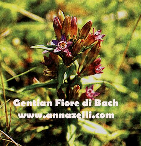 gentian fiori di bach i 38 fiori di bach descrizione i 38 fiori di bach