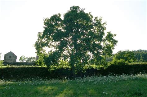 walnut tree species