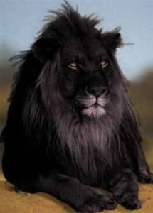 What are the differences between a black leopard and a ...