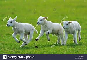 cute lambs running and jumping in spring The Netherlands ...
