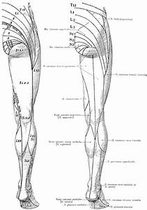 Cutaneous Nerves On The Back Of The Legs