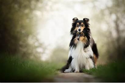 Shetland Wallpapers Sheepdog Dog Sheltie Desktop Dogs
