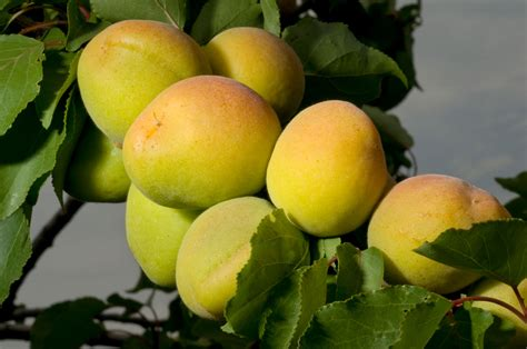 Apricot Fruit Not Ripe - What To Do With Unripe Apricots