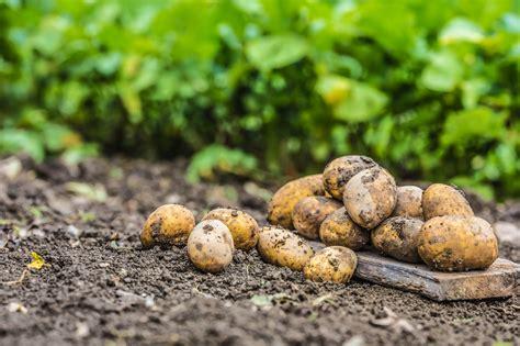 Coltivare le patate: in vaso o nell'orto - Valfrutta Magazine