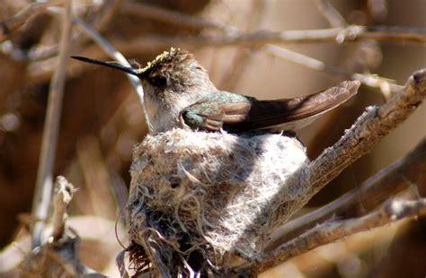 female hummingbird on nest