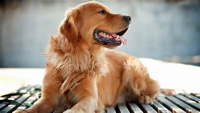 Retriever Golden Dog Wallpapers 1440 Dogs Goldens