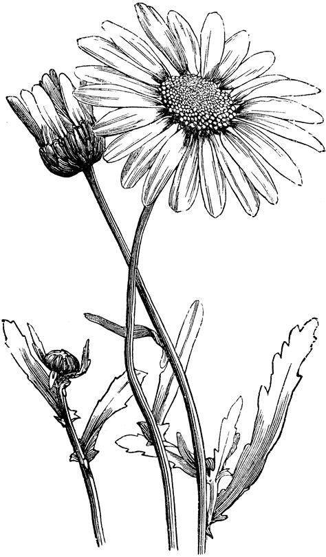 oxeye daisy clipart