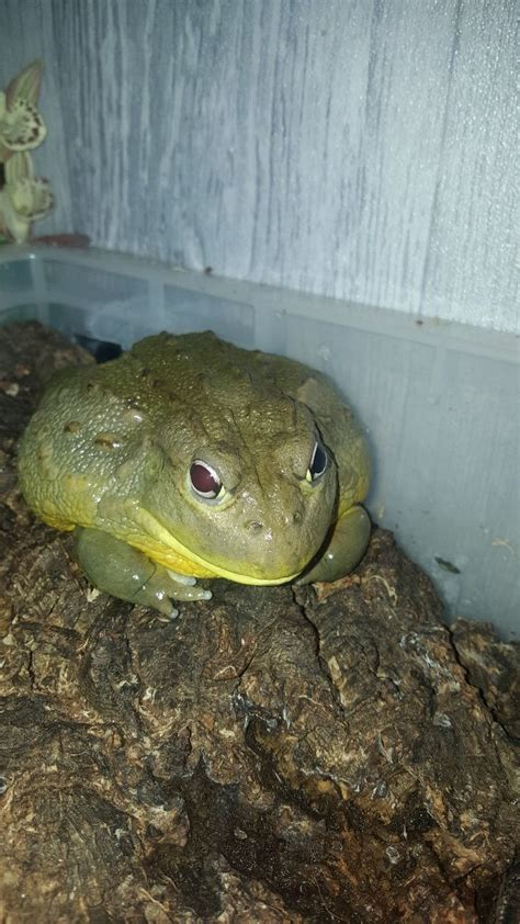 giant african bullfrog oldham greater manchester